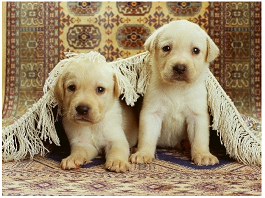 Golden rules of rug care: area rug cleaning for pet damage